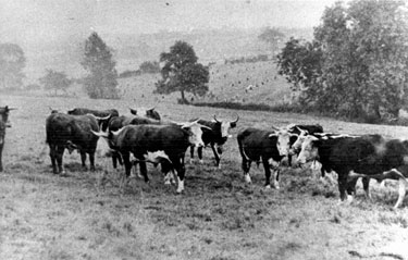 Cows grazing, Woodhouse